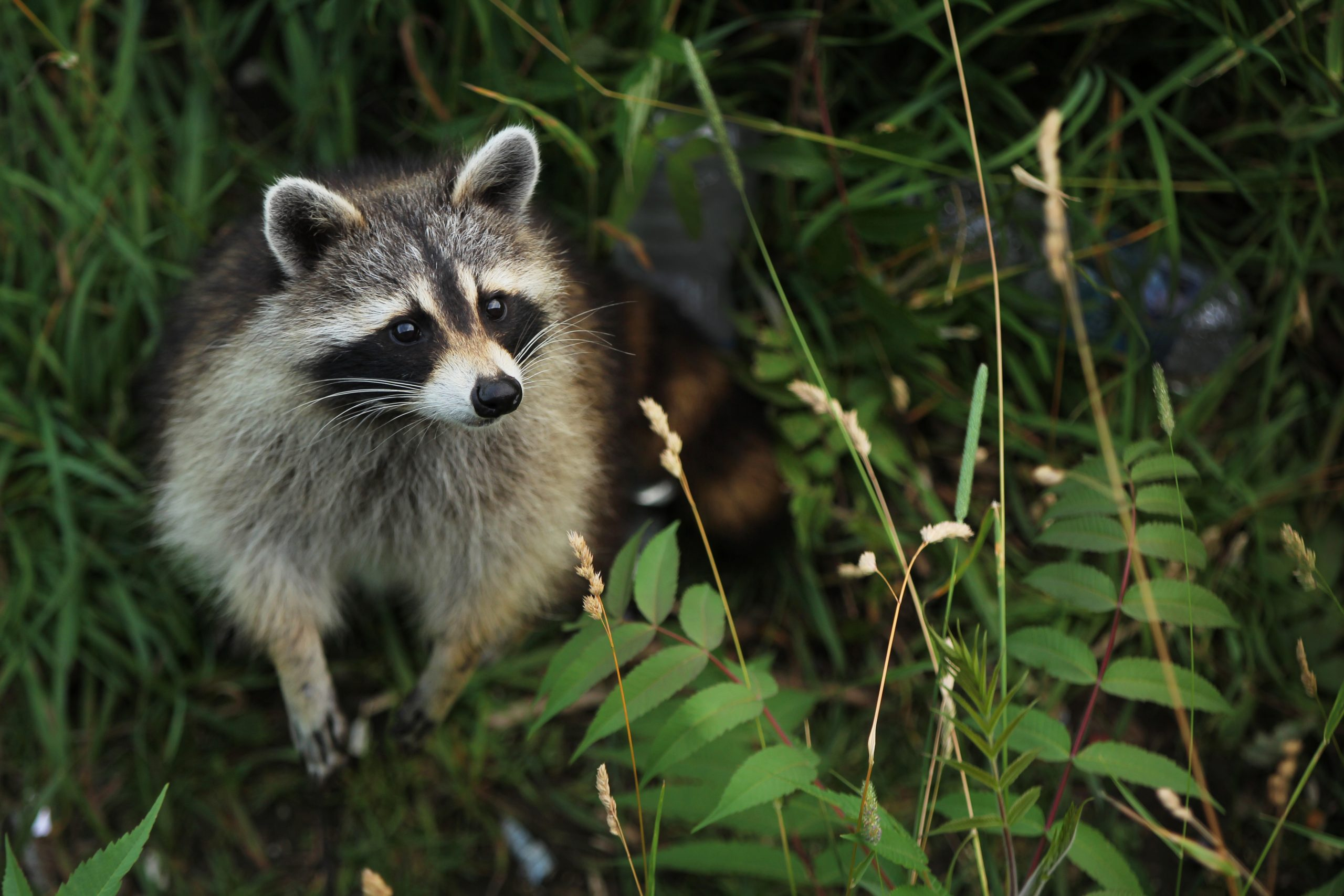 Elite Wildlife Solutions of Westchester - Curious racoon in a forest looking up