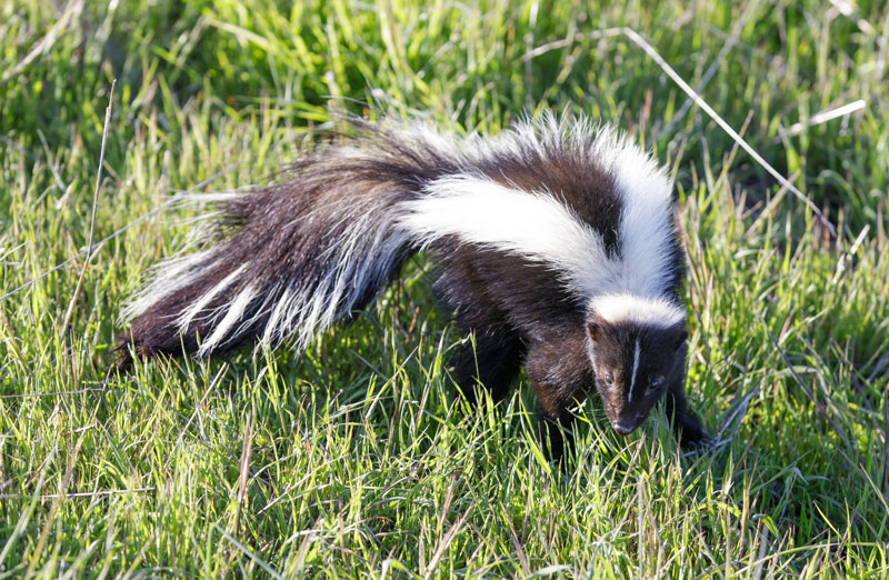 skunk removal westchester ny